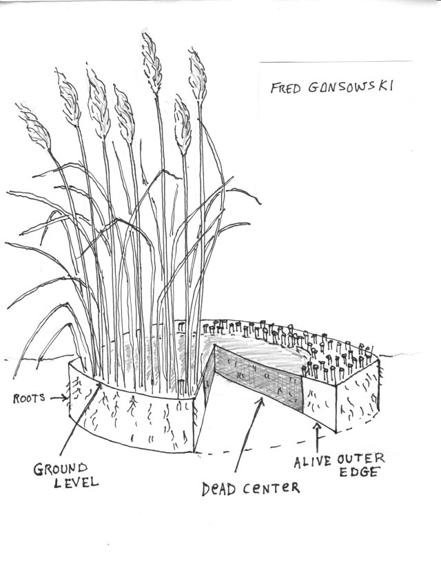 A cutaway showing the root system of ornamental grass.