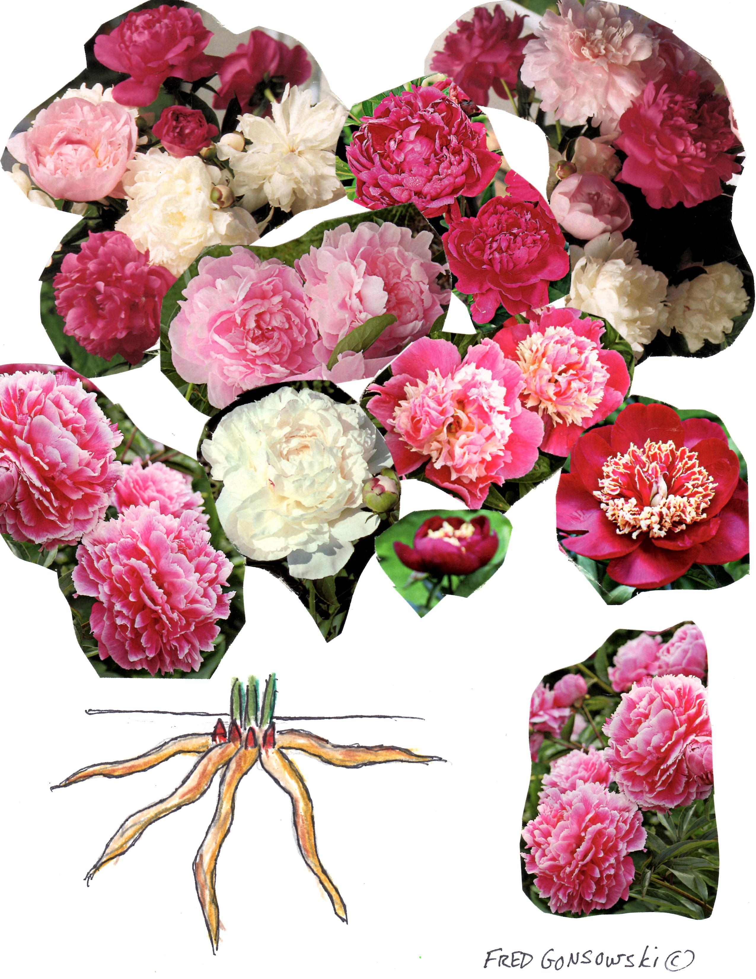 Why do not bloom peonies. What to do 53