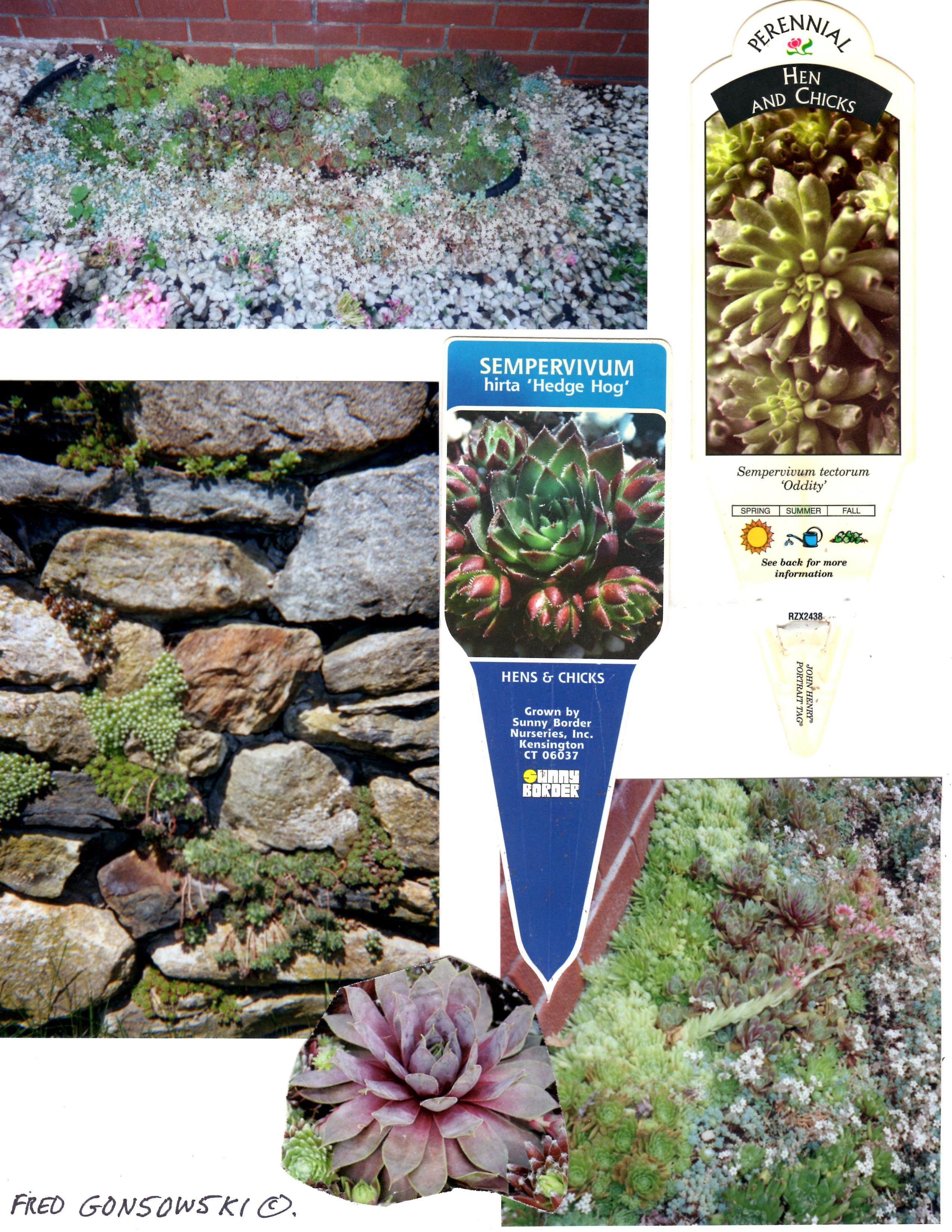 After Planting Sempervivum Hens And Chicks Water Them Sparingly