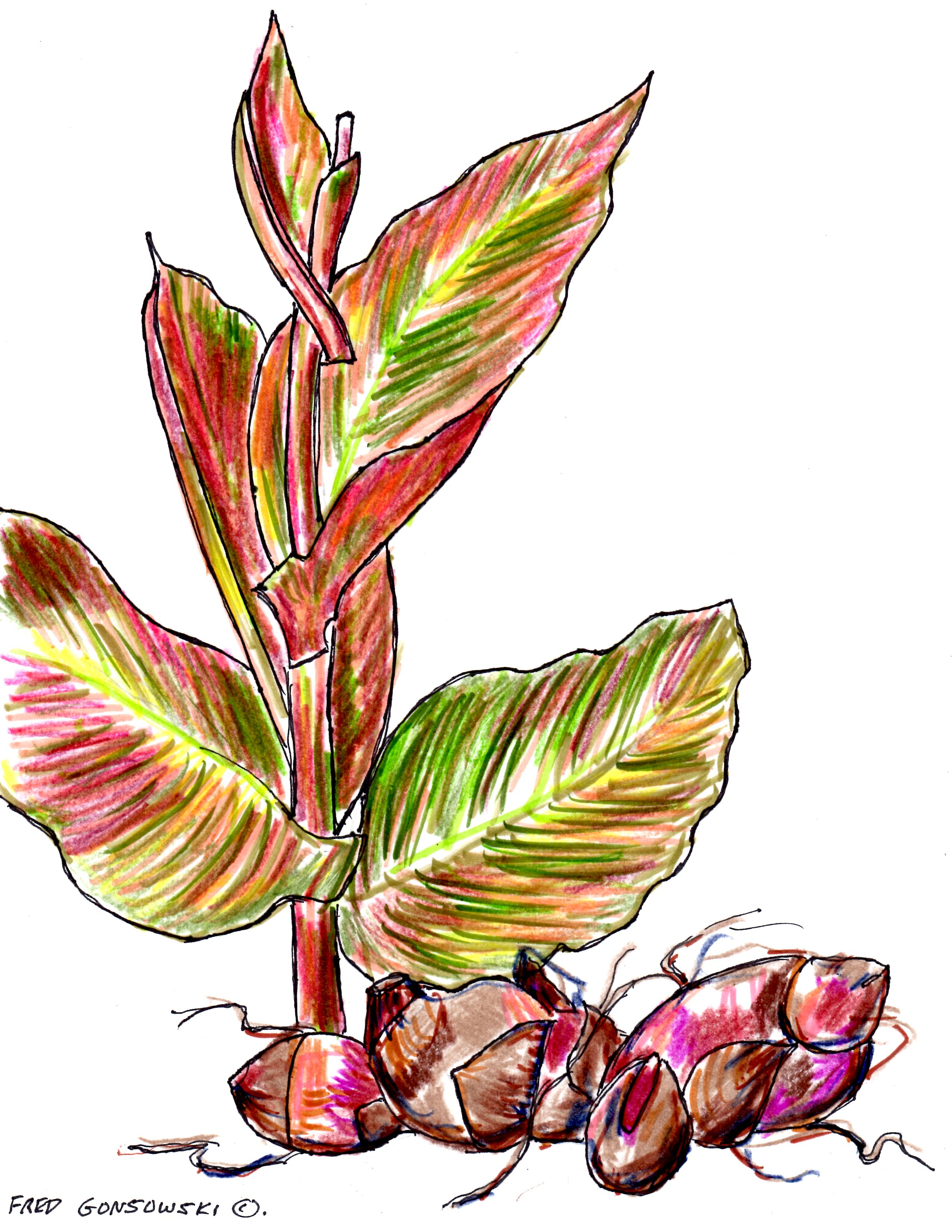 Container planted or in the ground canna plants are a focal point plant some canna lily rhizomes add a tropical vibe to your garden izmirmasajfo