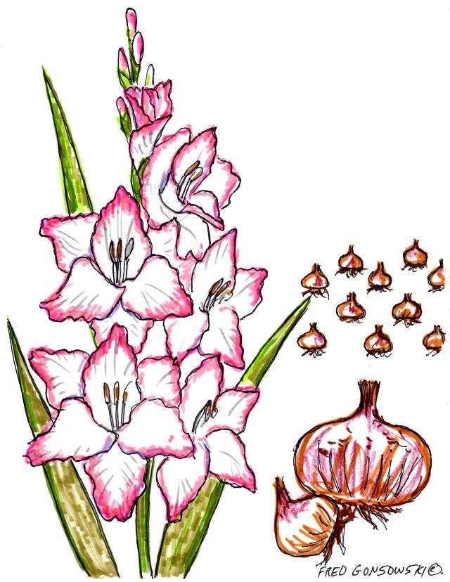 Gladiolus, planting, fertilizing  and Winter storage