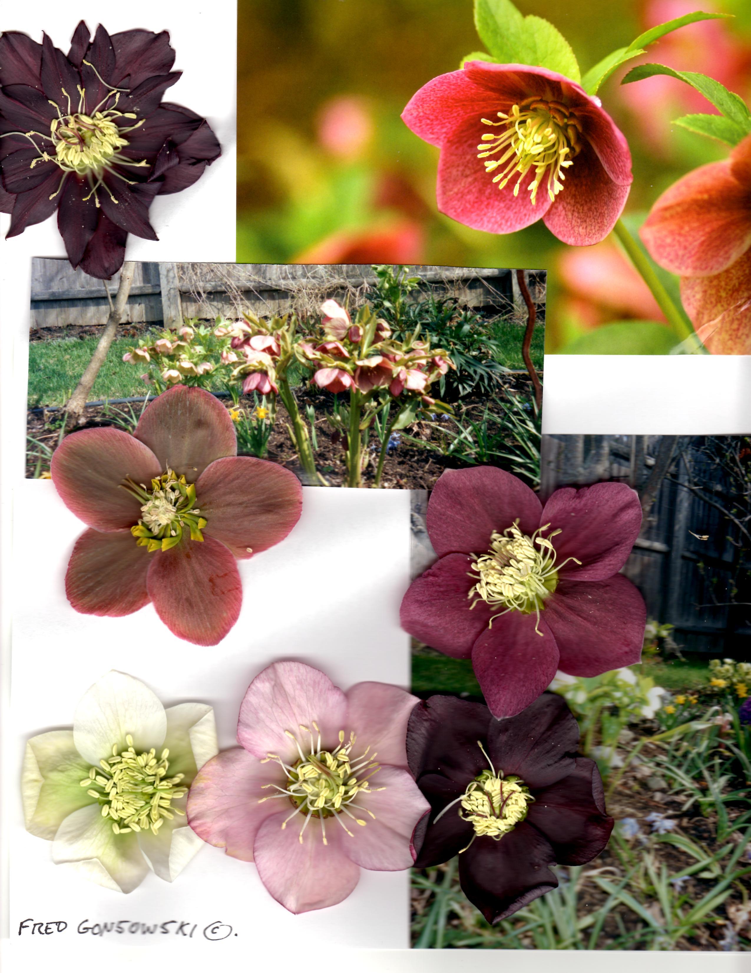 planting hellebores  lenten roses  to celebrate spring