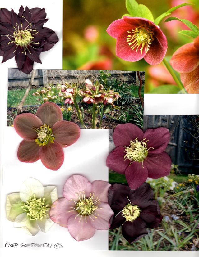 Helleborus, Hellebore, Lenten Rose, Christmas Rose, Helleborus x hybridus, Helleborus orientalis (The many names  for Hellebores)