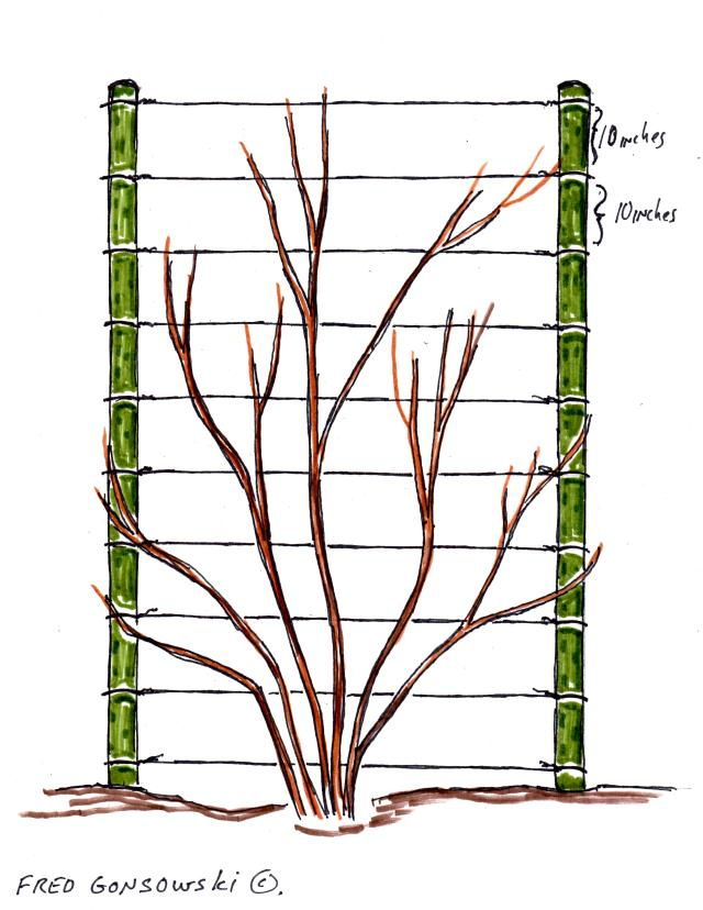 An Easy to make Trellis for Climbing Vines