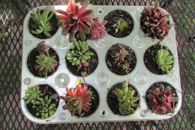 Plant Hen and Chicks (Sempervivum) in old Cupcake or Muffin Pans