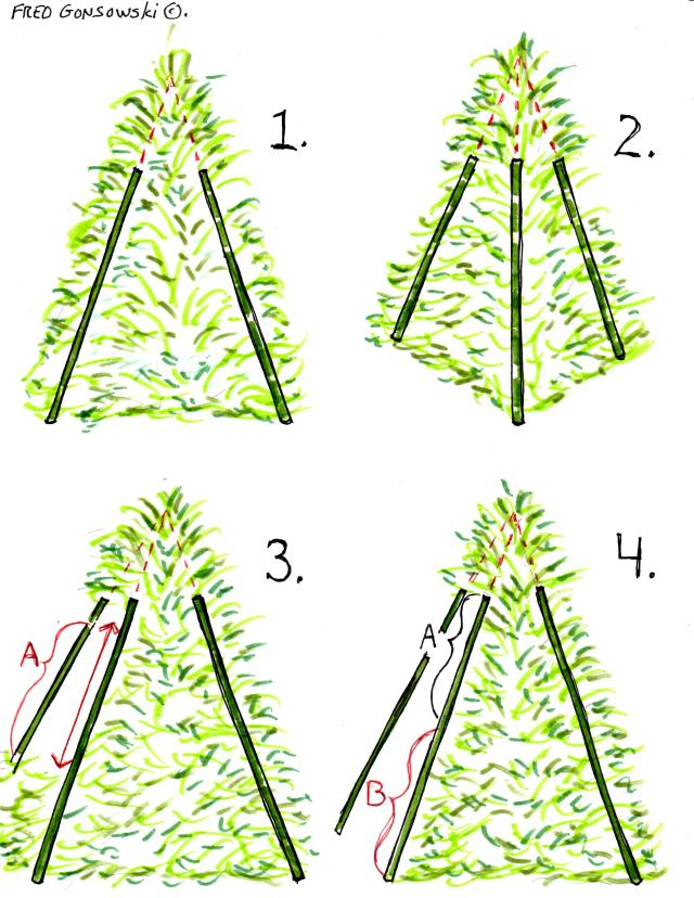 Illustrations showing how to trim a Golden String/Thread Cypress into a Pyramid.