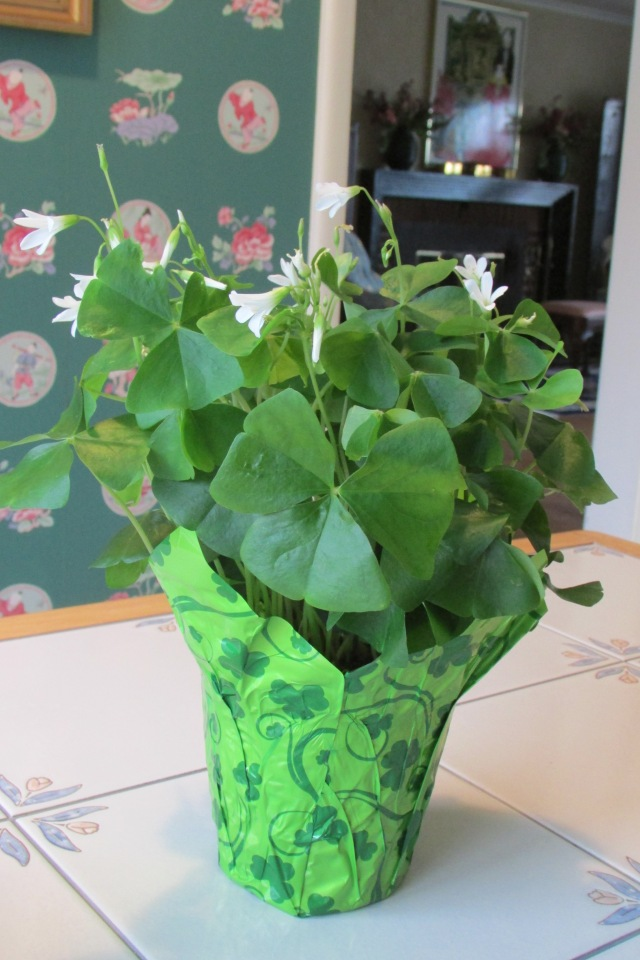The leaves of the Oxalis (Shamrock Plant) as seen open by day.
